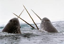 narwhals of the arctic facts and adaptations monodon monoceros