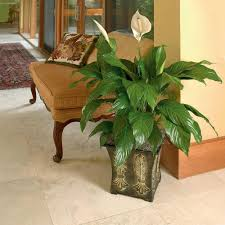 spathiphyllum spath the home depot