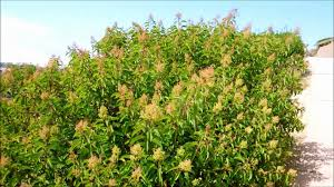 49 best california native plants laurel sumac malosma laurina san diego california youtube