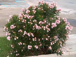 Flowering Shrubs That Like Full Sun - 23 best oh oleanders images on pinterest plants dwarf and