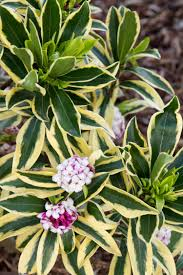 Fragrant Patio Plants - in early spring moonlight parfait winter daphne opens to white