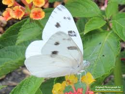 checkered white butterfly photos size identification