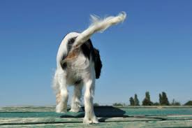 australian shepherd odor why your dog smells like fish american kennel club