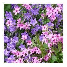 fiori viola fiori viola e rosa rifiorenti per giardini rocciosi vivaio