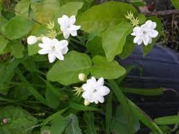 Jasmine Tea Flowers - sambac jasmine jasmine tea 3 gallon