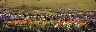Irises How To Plant Grow by Growing Bearded Iris Rainbow Iris Farms