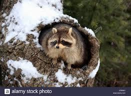 raccoon procyon lotor den snow winter montana usa stock