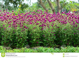 gomphrena globosa flowers in garden stock photo image 67571006