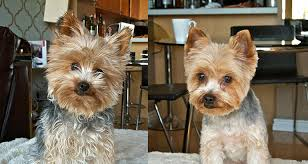 haircuts for yorkies yorkshire terrier haircuts creative dog grooming