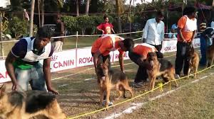 afghan hound kennel in australia madras canine club all breeds championship dog show dogexpress