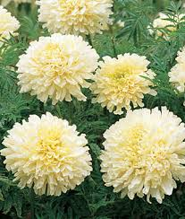 Long Blooming Annual Flowers - marigold french vanilla hybrid 24