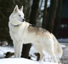 belgian sheepdog wolf mix best 20 american alsatian ideas on pinterest american german