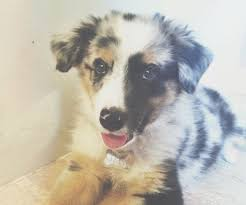 australian shepherd quirks 7 best dogs images on pinterest german shepherds animals and