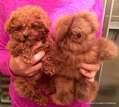 haircutsfordogs poodlemix teddy bear cut grooming styles for poodles scarlet s fancy poodles