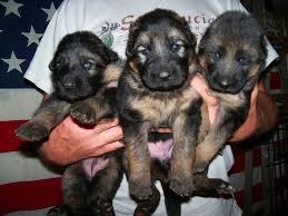 8 week old australian shepherd training pictures of 3 week old german shepherd puppies dogs pinterest