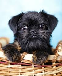 affenpinscher brussels griffon rescue brussels griffon dogs u0026 puppies pet symptoms dog breeds