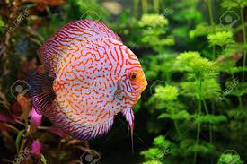 native aquarium plants discus symphysodon multi colored cichlid in the aquarium