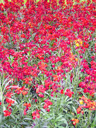 file gardens red flowers jpg wikimedia commons