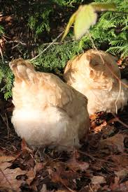 Keeping Free Range Chickens In Your Backyard How To Free Range Chickens With Supervision Tilly U0027s Nest