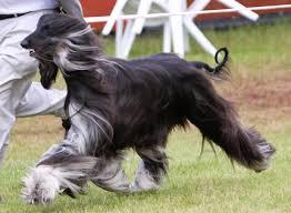 afghan hound racing uk afghan hounds pashtari afghan hounds