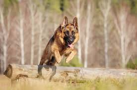 breed fads bad dogs tibetan mastiff
