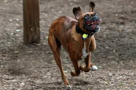 boxer dog vine the top ten dingus dog breeds of all time barkpost