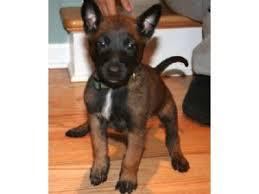 belgian sheepdog craigslist belgian malinois puppies for sale