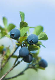 Best Fruit Trees For North Carolina - 21 best fruit and nut trees images on pinterest north carolina