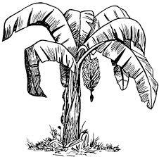how to draw a banana tree banana leaf outline google search xmas
