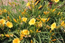 stella daylily pretty yellow daylily stella de oro hemerocallis growing in