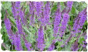 Salvia Flower Purple Salvia Picture