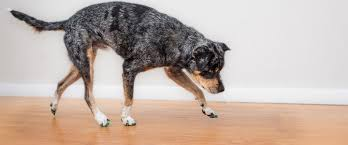Dog Booties Hardwood Floors Non Slip Toe Grips Give Dogs Traction To Stop Slipping On Floors