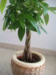 the world s tree species money tree plant pachira glabra