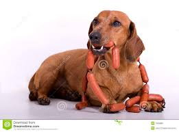 autumn dachshund dog stock photos images u0026 pictures 278 images