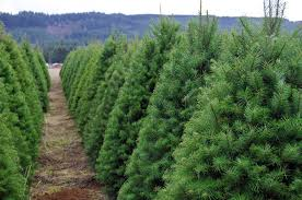 real christmas trees artificial vs real christmas trees find out which is best