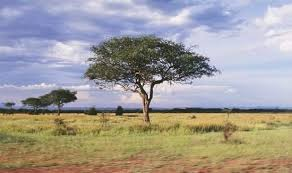 Tropical Savanna Dominant Plants - tropical savanna thinglink