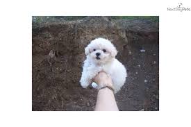 bichon frise nashville adorable no shed bichon frise puppy for sale near pittsburgh