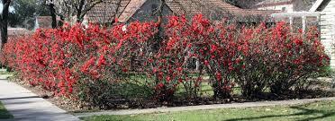flowering quince hedge garden love pinterest gardens