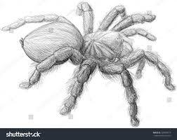realistic tarantula spider black white sketch stock vector