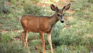 Utah Wildlife Tours images Mule deer inhabit utah my utah parks jpg