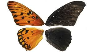 scientists can now repaint butterfly wings the atlantic