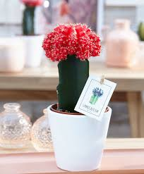 buy house plants now moon cactus bakker