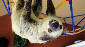 they come here to enjoy endangered sloths find peace in