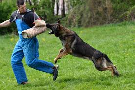 Animal Trainers Salary 12 Steps To Training Your Dog To Attack Video Simply For Dogs