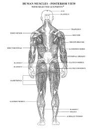 human anatomy muscles human body worksheets science pertaining to