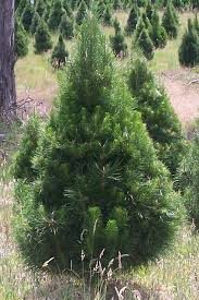 live chirstmas trees delivered to you