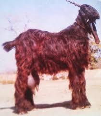 afghan hound coat colors dera din panah goat modern farming methods