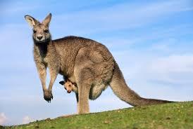 the mystery of kangaroo adoptions u2013 phenomena the loom