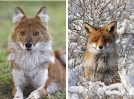 australian shepherd vs husky 11 dogs that look like a fox pethelpful