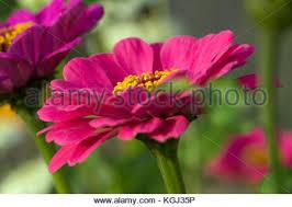 pink zinnia flower in garden summertime annual flower in zone 6